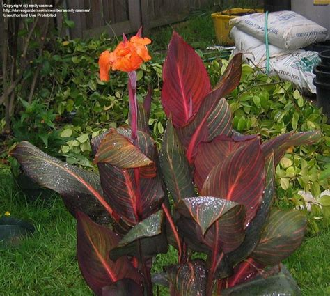 PlantFiles Pictures: Canna Lily 'Tropicanna' (Canna x