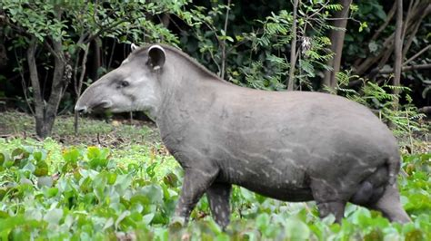 Brazilian Tapir, Tapirus terrestris - YouTube