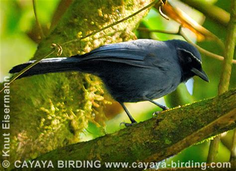 Jays and crows of Guatemala by CAYAYA BIRDING