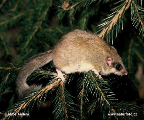 Forest Dormouse Photos, Forest Dormouse Images, Nature
