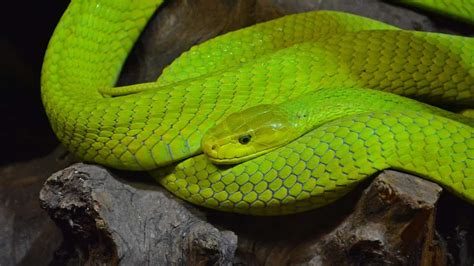 10 Most Dangerous Snakes (Top In The World!) - Pest Strategies