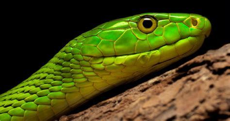 Eastern Green Mamba Wallpapers Backgrounds