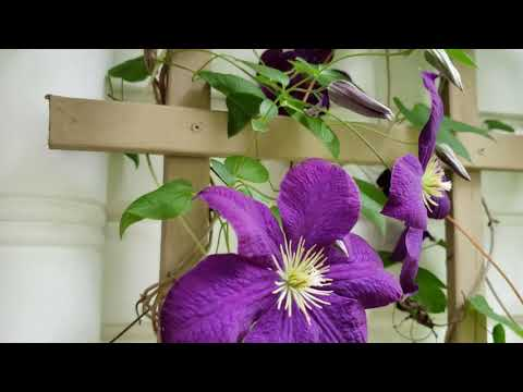 Clematis viticella - Teil 1 - YouTube