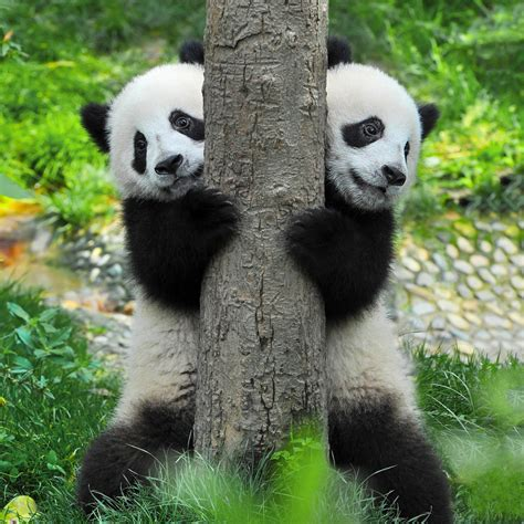 How Many Giant Pandas Are Left in the World? | Reader's Digest