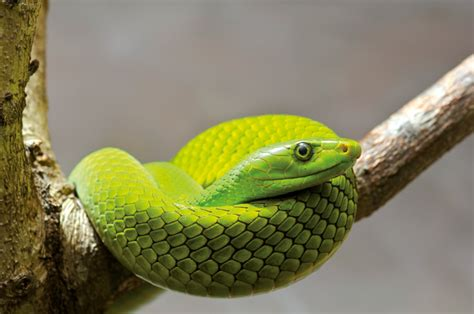 Eastern Green Mamba Facts and Pictures | Reptile Fact