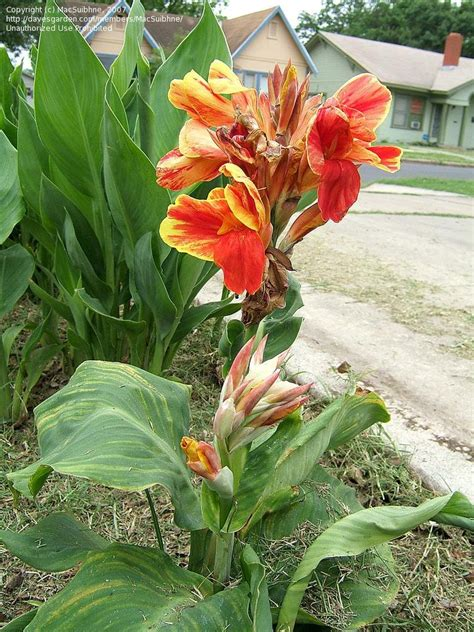 PlantFiles Pictures: Canna Lily 'Lucifer' (Canna x