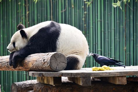 Find Out Why This Giant Panda Giving Birth Left The