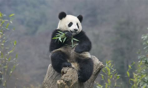 How many giant pandas are there? | Science | The Guardian