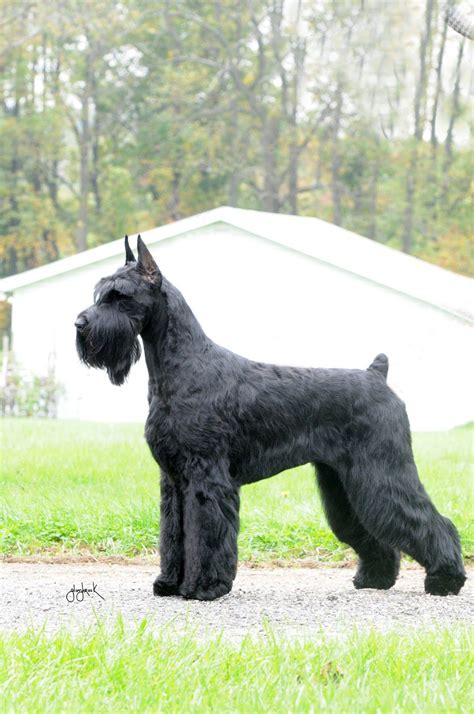 Official AKC Standard for the Giant Schnauzer : Kenro